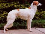 Lovely Longhaired Whippet dog