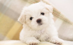 Lovely Maltese dog