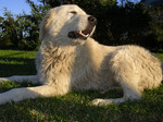 Lovely Maremma Sheepdog