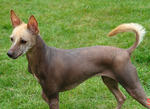 Lovely Mexican Hairless Dog