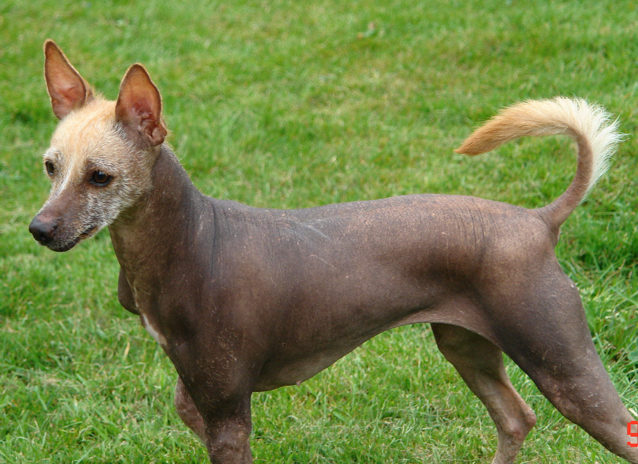 Lovely Mexican Hairless Dog wallpaper