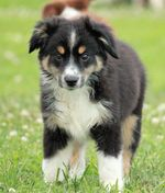 Lovely Miniature Australian Shepherd