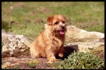 Lovely Norfolk Terrier dog