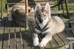 Lovely Northern Inuit Dog