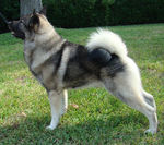 Lovely Norwegian Elkhound dog