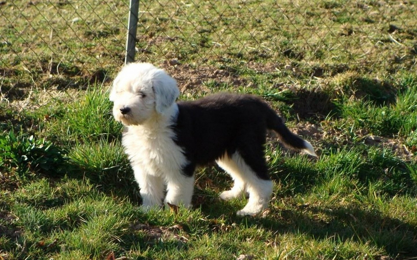 Lovely Old English Sheepdog dog wallpaper