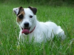 Lovely Parson Russell Terrier