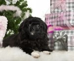 Lovely Pekingese dog