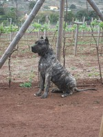 Lovely Perro de Presa Canario
