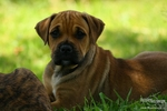 Lovely Perro de Presa Mallorquin