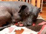 Lovely Peruvian Hairless Dog