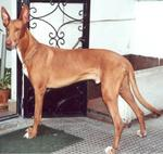 Lovely Pharaoh Hound dog