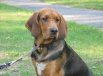 Lovely Polish Hound dog