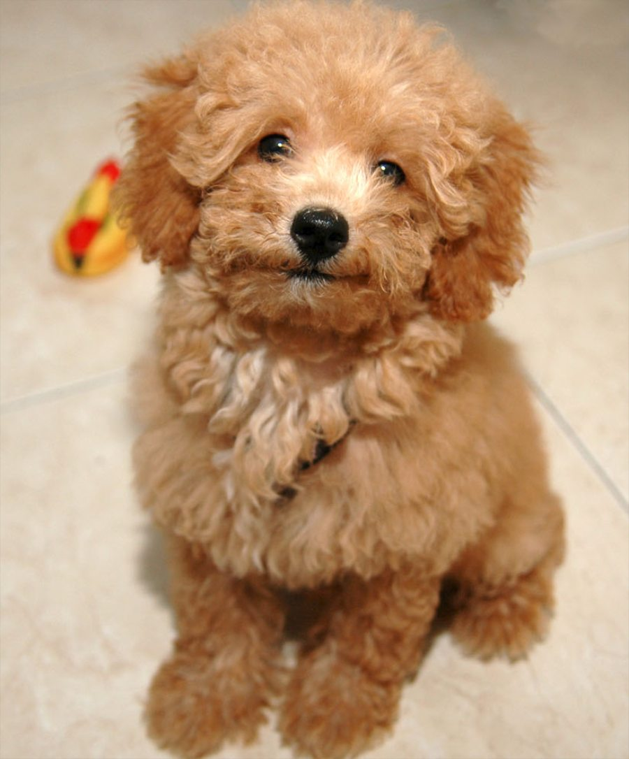 Lovely Poodle dog wallpaper
