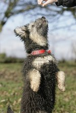 Lovely Pumi dog