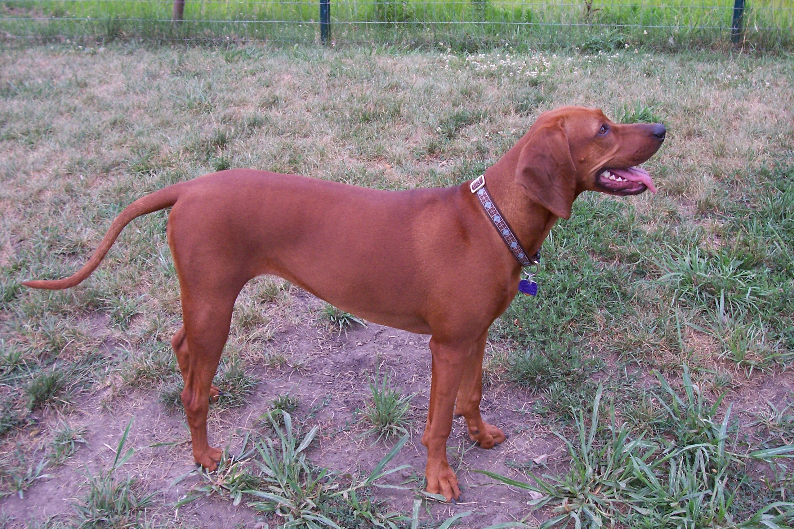Lovely Redbone Coonhound dog  wallpaper
