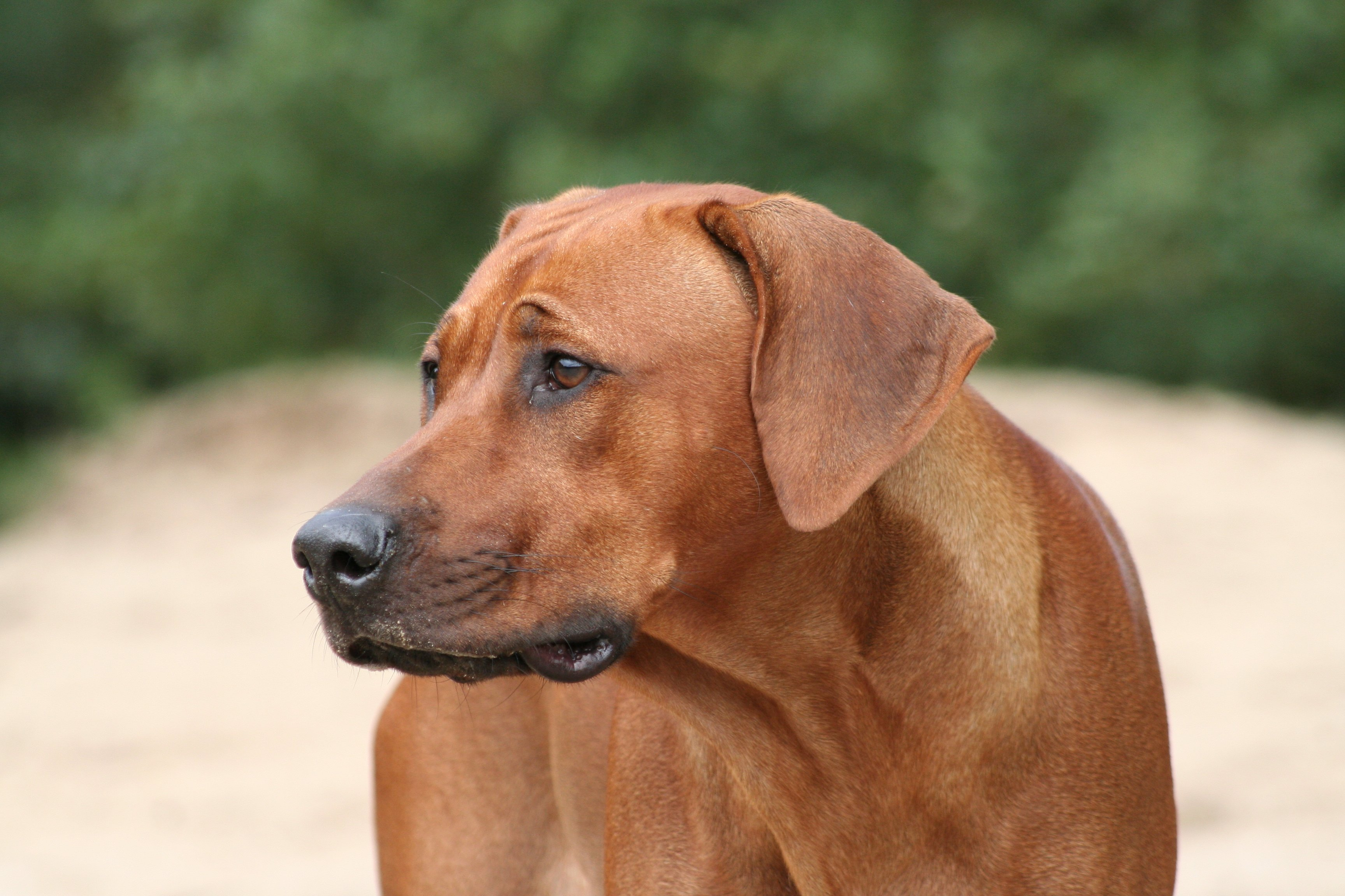 Lovely Rhodesian Ridgeback dog  wallpaper