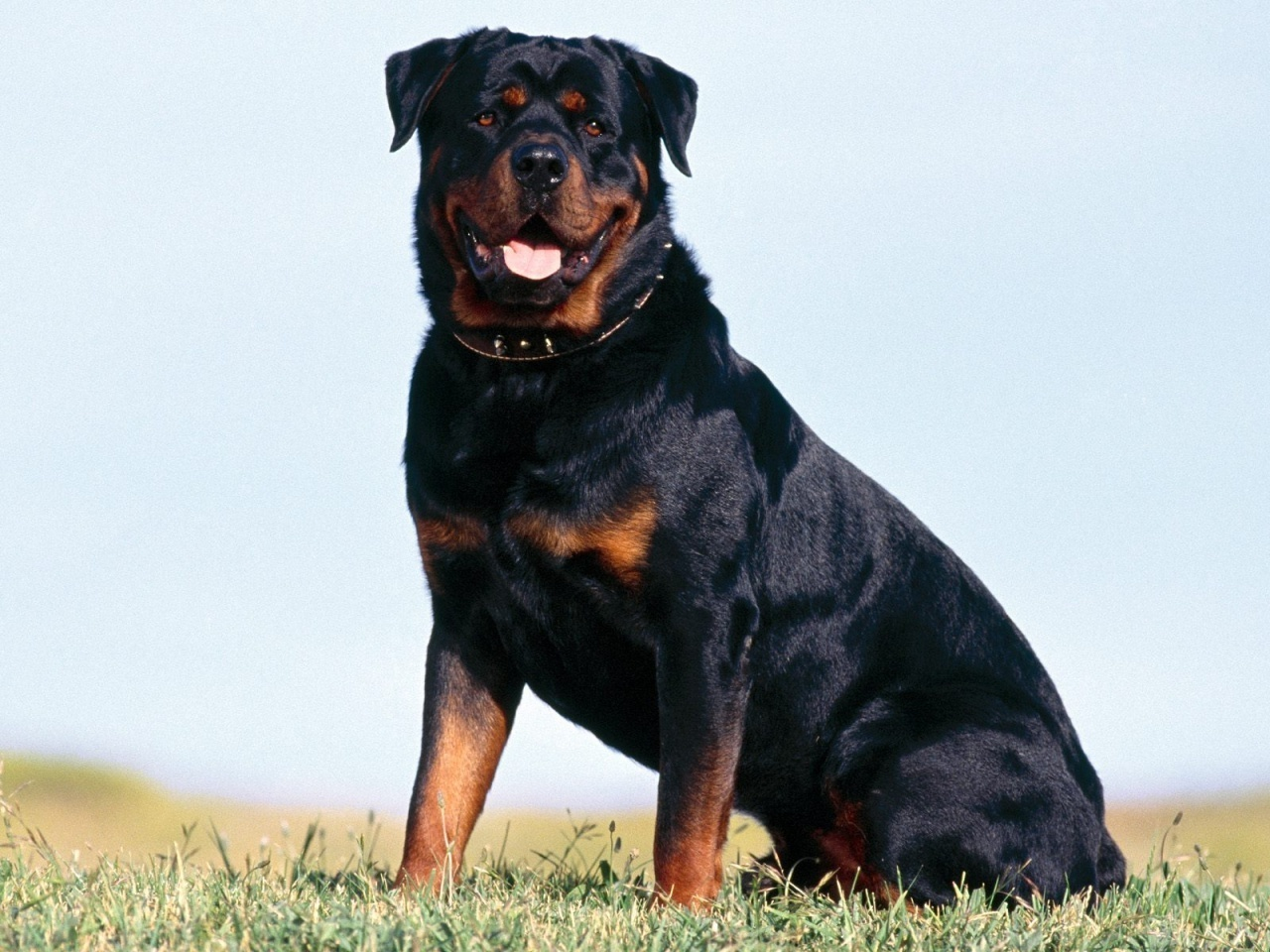 Lovely Rottweiler dog wallpaper
