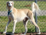 Lovely Saluki dog