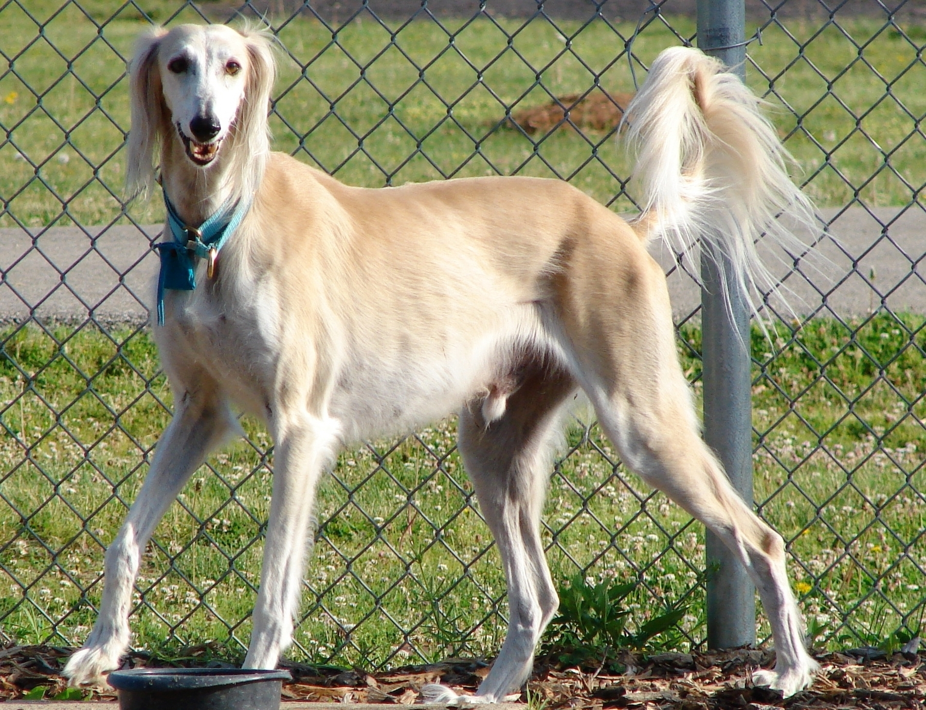 Lovely Saluki dog wallpaper
