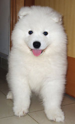 Lovely Samoyed dog