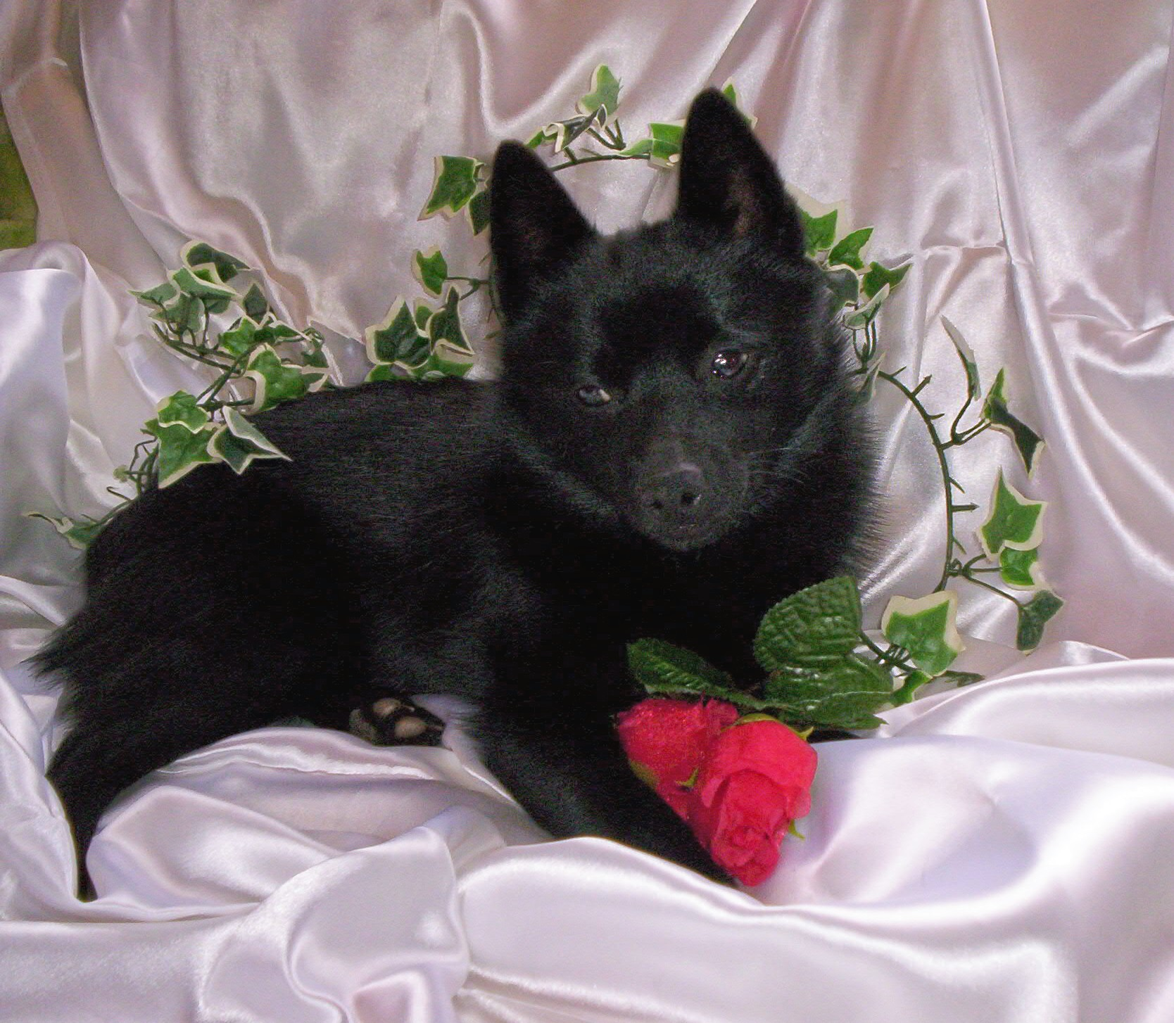 Lovely Schipperke dog  wallpaper
