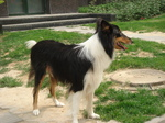 Lovely Scotch Collie dog