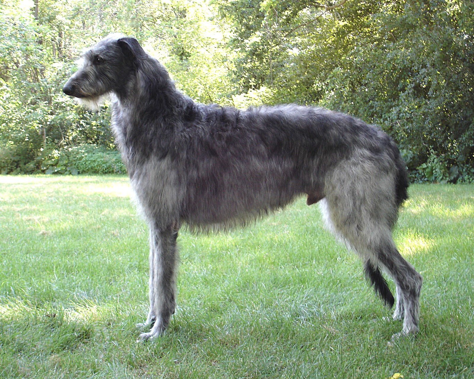 Lovely Scottish Deerhound Dog Photo And Wallpaper
