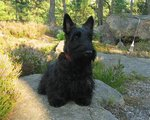Lovely Scottish Terrier
