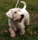 Lovely Sealyham Terrier dog