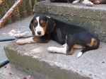 Lovely Serbian Hound dog