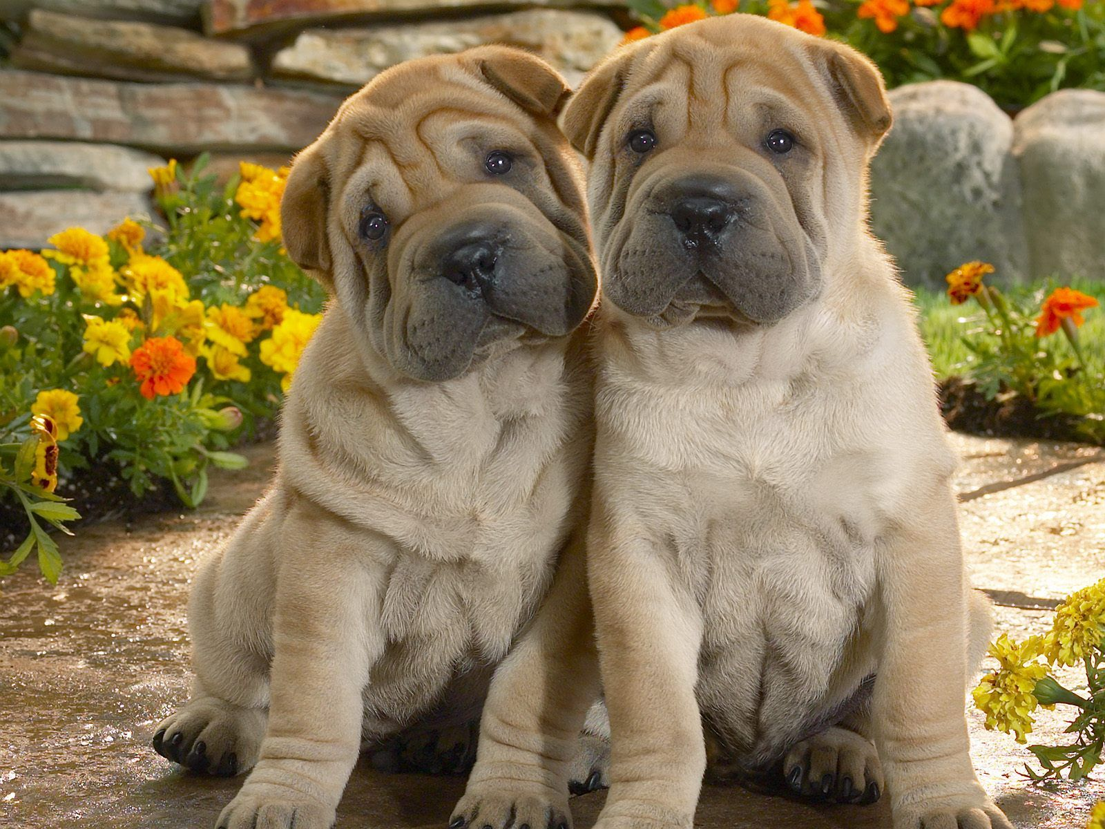 Lovely Shar Pei Dogs Photo