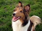 Привлекательная собака шелти