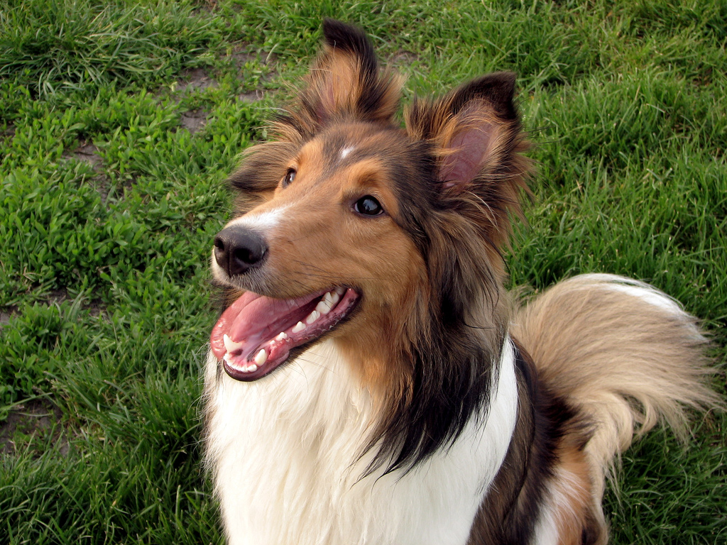 Lovely Shetland Sheepdog dog wallpaper