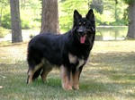 Lovely Shiloh Shepherd Dog