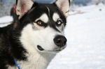 Lovely Siberian Husky dog