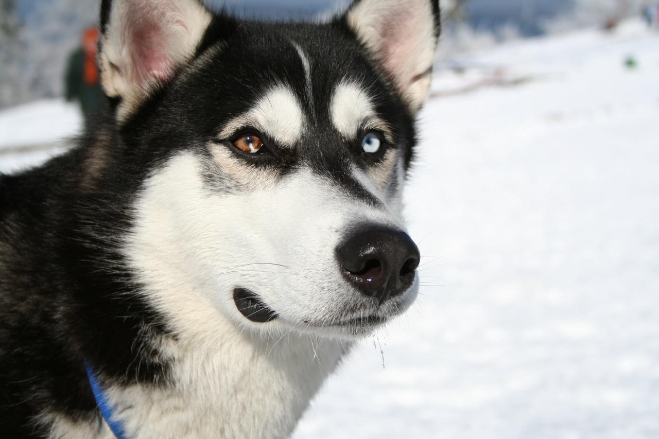 Lovely Siberian Husky dog wallpaper