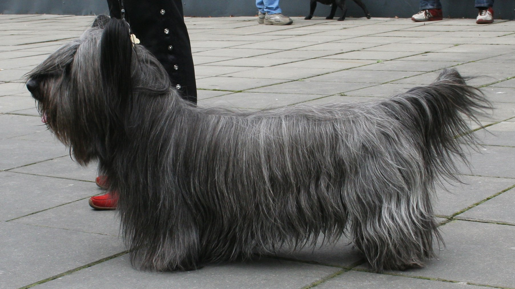 Lovely Skye Terrier dog  wallpaper