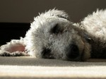 Lovely sleeping Bedlington Terrier