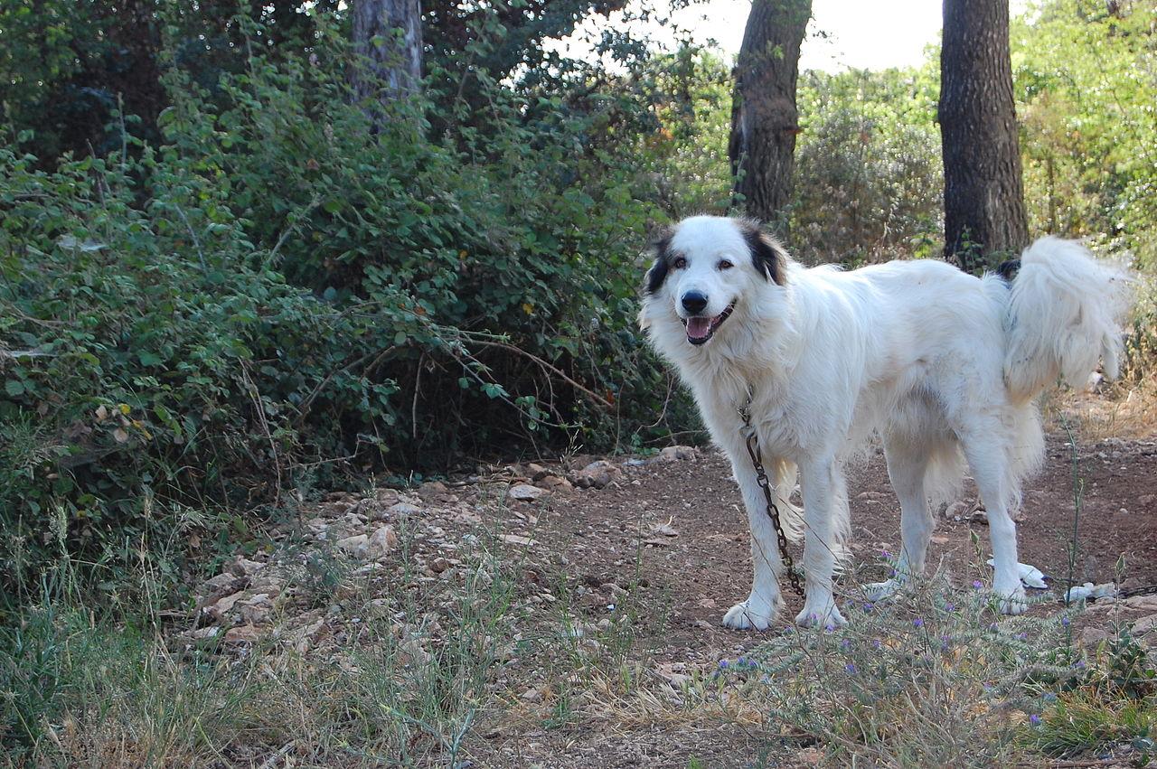 Прекрасная собака торньяк фото