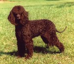 Lovely Tweed Water Spaniel dog