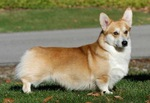 Lovely Welsh Corgi Pembroke dog