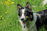 Lovely Welsh Sheepdog