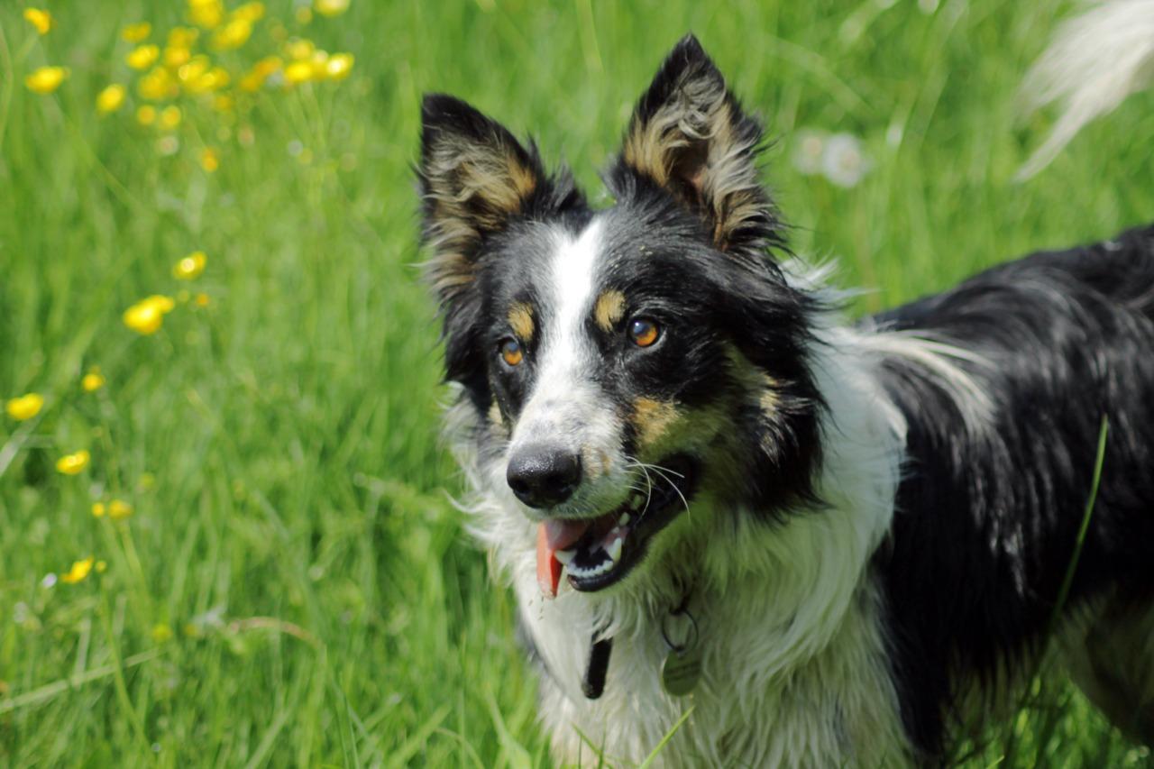 Прекрасный уэльская овчарка фото