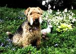 Lovely Welsh Terrier with his toy