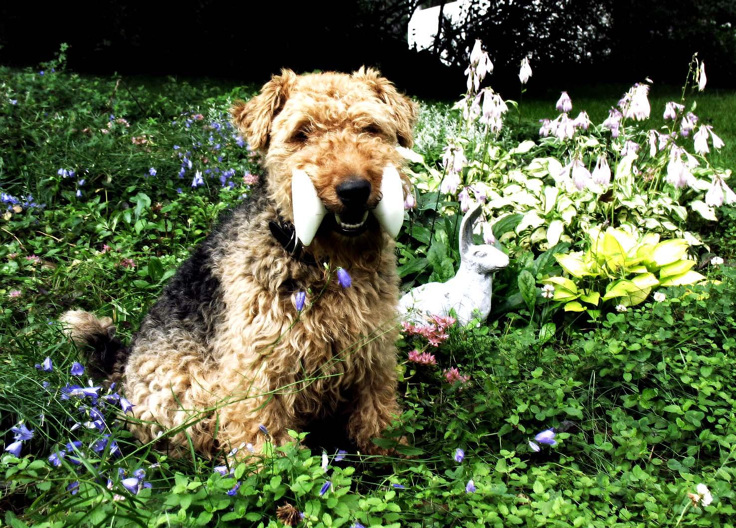 Lovely Welsh Terrier with his toy wallpaper