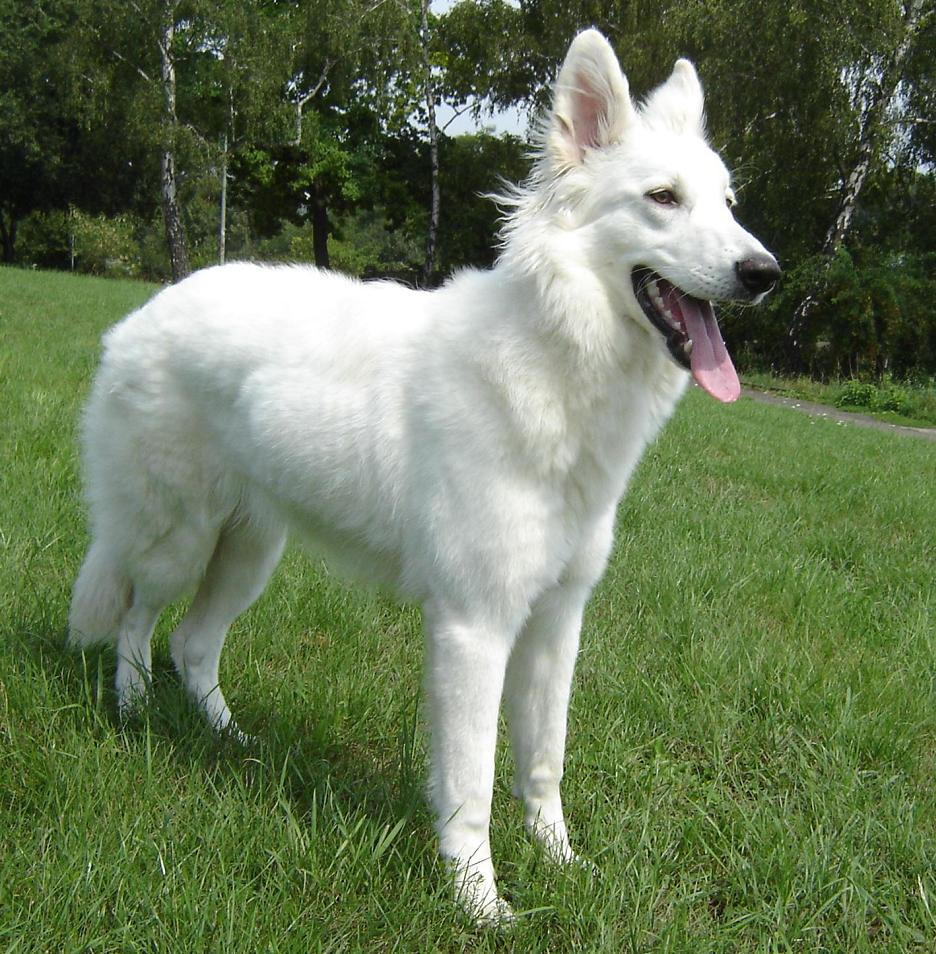 Lovely White Shepherd dog wallpaper