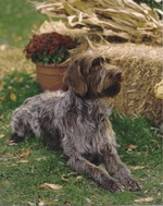 Lovely white Wirehaired Pointing Griffon dog
