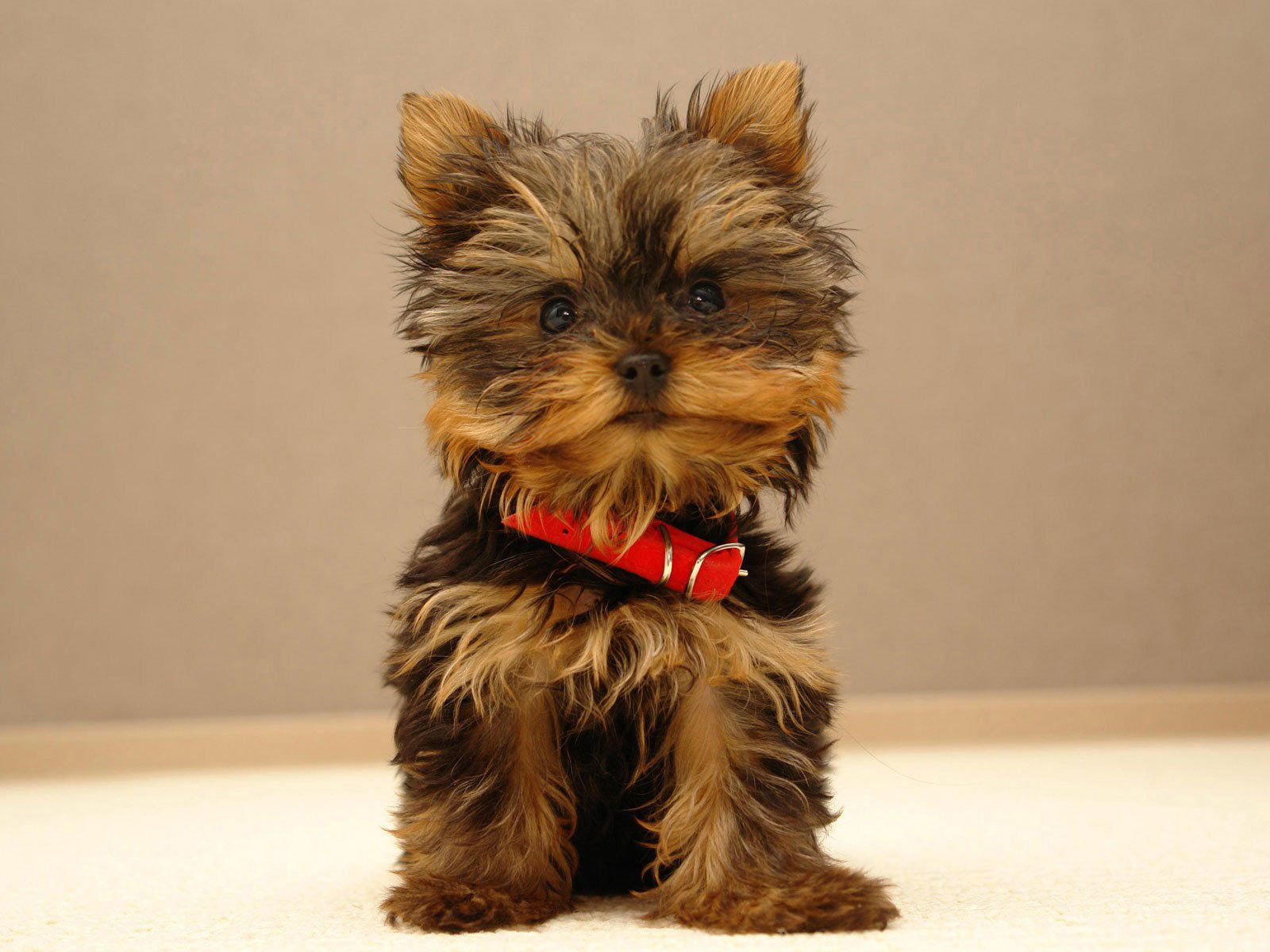 Lovely Yorkshire Terrier dog wallpaper