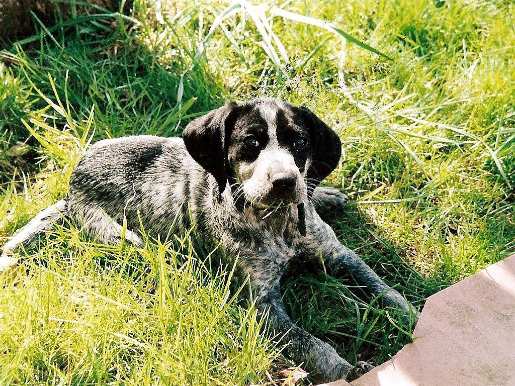 Lying Braque d'Auvergne dog wallpaper